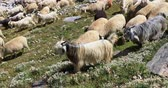 pastoreio : Goats and Sheep in Kashmir, north India