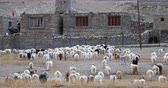 tibetano : Ladakh countryside rural scene. Domestic animals return to Korzok village. Traditional way of life in north India