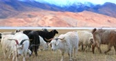 pastoreio : Pashmina goats grazing outdoor with beautiful Himalaya mountains on background. Traveling to rural Ladakh, India