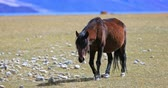 ladakh : Himalayan horse walk toward camera. Ladakh domestic animals and rural countryside