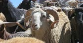 memeli : Domestic animals in Himalaya region of north India. Sheep and goats walk along camera