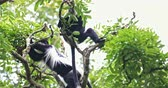находящихся под угрозой исчезновения : African endangered species of animals in nature reserve. Colobus Guereza Monkey in jungle forest canopy