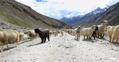 tibetano : Rural countryside of Ladakh, India north. Traditional agriculture in remote rural Himalaya regions Stock Footage