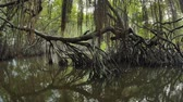 чаща : Mangrove tree trunk reflects in river water in tropical swamp forest