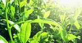 gomos : Fresh shiny leaves of tea trees grow on green hills plantations in Sri Lanka. Beautiful background of summer sunny day in rural asian countryside Stock Footage