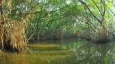 baldachýn : Mangrove trees and green plants amazing nature landscape. Following the river by boat under rainforest vegetation with scenic reflection on calm and tranquil water surface. Travel and adventure video