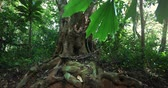 tronco de árvore : Roots of old big tree trunk in rainforest jungle. Plants and green vegetation in tropical forest