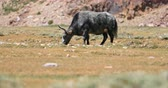 pastoreio : Domestic yak with grey fur grazing on dry grass in Himalaya, northern India Stock Footage