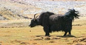 ladakh : Handsome male yak in breeding season marks territory by making aggressive sounds. Traveling in Himalaya highlands