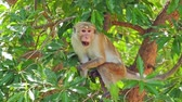 ceylon : Toque Macaque endemic animal of Sri Lanka in Yala national park