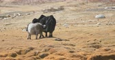 pastoreio : Baby yak calf suckling milk from mother cow in harsh and severe climate and environment of Himalaya highlands in Ladakh region of northern India Stock Footage