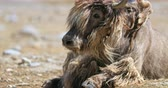 ladakh : Beautiful animal Himalayan yak close up portrait. Large male bull with long fur and big horns in Ladakh region of northern India Stock Footage