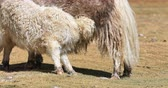 ladakh : Yak baby calf feeding from mother cow suckling milk on farmland in Himalaya mountains Stock Footage
