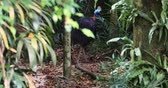 dinosauro : Southern Cassowary wild endemic bird in tropical rainforest environment. Exotic animals of jungle forest in Papua New Guinea