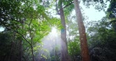 morning glory : Sun light and tree leaves in rainforest. Morning rays and sunlight glow through jungle canopy Stock Footage