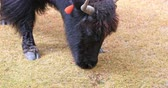 pastoreio : Close up view of domestic Yak eating grass on highland pasture