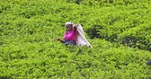 ceilão : Harvesting tea in Sri Lanka. Woman worker picking tea on green field