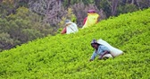 ceylon : Fresh young tea leaves on green hills picked by local female workers in Sri Lanka countryside