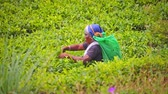 ceylon : Local Sri Lanka woman works on tea terraces plantation collecting tea leaves harvest Stock Footage