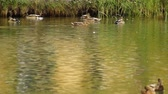 quiet : Ducks on the River Stock Footage