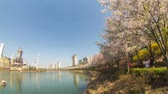 неузнаваемый : Seoul City Cherry Blossoms - Time lapse of a park in Jamsil during spring cherry blossom. Стоковые видеозаписи