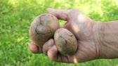 Tubers affected by bacterial decay in the hand of an agronomist Стоковые видеозаписи
