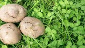 Potato tubers, infected with bacterial decay and pests Stock Footage