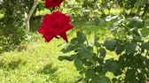 Two scarlet roses have blossomed in a garden