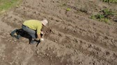клубень : Elderly man is engaged in digging potatoes on a small field Стоковые видеозаписи
