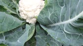 Cauliflower grows on bed, white vegetable. Autumn in garden Stock Footage