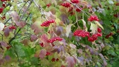 Bright red berries of viburnum in October. Foliage also became with red shade