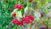Autumn. Bright red berries of viburnum in October. Foliage has thinned already