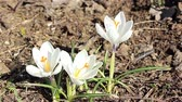 Spring Flowers on a sunny day. Bees pollinate crocus flowers in garden