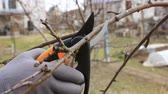 aparando : Spring. Gardener produces sanitary pruning of branches fruit trees
