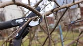 Gardener pruning apple branches with big secateurs