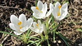 Spring breeze pumps white crocus flowers. April