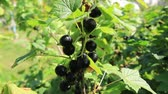 Ripe blackcurrant on the bush. Sunny weather in august