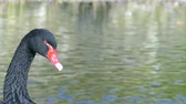 hattyú : Black swan on lake and bird animal