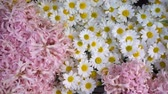 krizantem : pink and White Daisy Flowers Stok Video