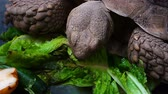 жаба : Turtle is Eating Vegetable