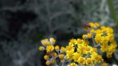 小花 : Bee on Yellow Flowers in Nature 動画素材