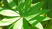 lupine : Green leaf of lupine in summer