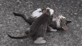 cat strofe : Two frisky kittens plays