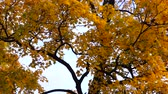 dinginlik : Yellow crown of maple tree
