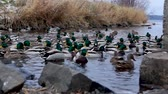 pato real : Wintering ducks in river