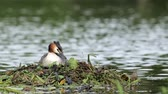 vadio : Great crested grebe (Podiceps cristatus) pair, tending the nest.