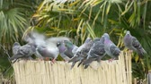 lined up : Feral pigeons (Columba livia domestica) sitting on a fence before flying off, startled