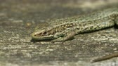 sideview : Close-up of a Common Lizard (Zootoca vivipara) basking on in the sun on wood