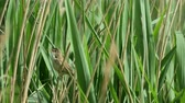 reed : Reed Warbler bird(Acrocephalus scirpaceus) singing from a reedbed