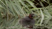 vadio : Little Grebe loon (Tachybaptus ruficollis) carrying young grebelets or chicks